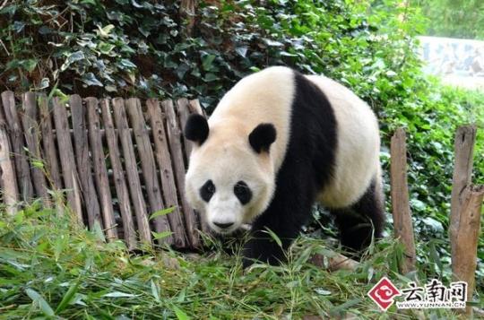 小朋友,看望过熊猫的热心市民