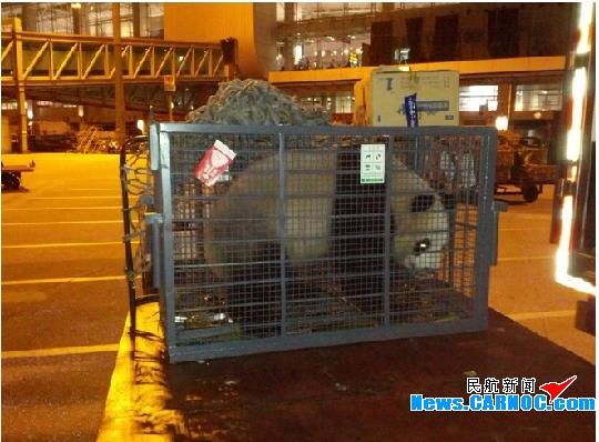 """白云机场迎来大熊猫公主""""梅清""""和""""谷笑"""""""