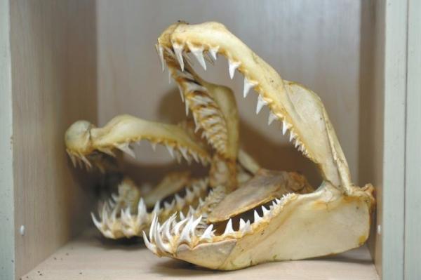 """成都机场截获""""偷渡客"""":鲨鱼头骨 宠物蛇"""
