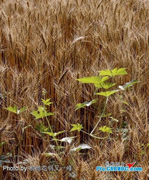 Re:[原创]首都机场附近的麦子熟了