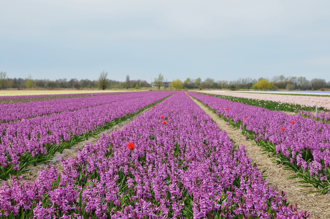 人间四月天 欧洲自由行②:花样荷兰-世界上最美丽的春天!
