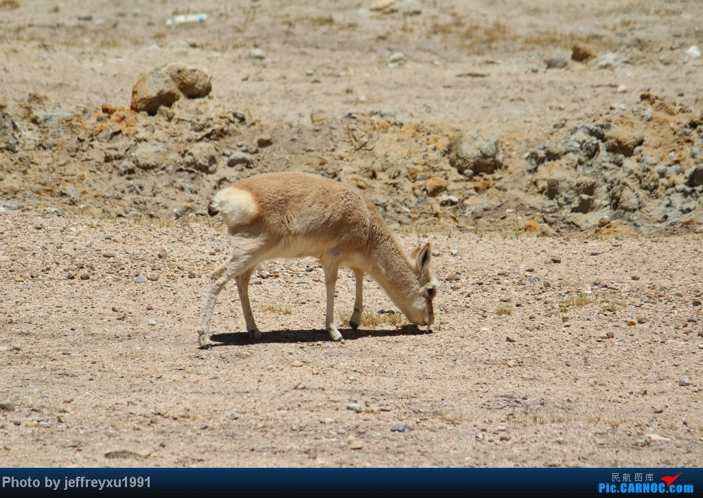 黄羚羊---国家二级保护动物